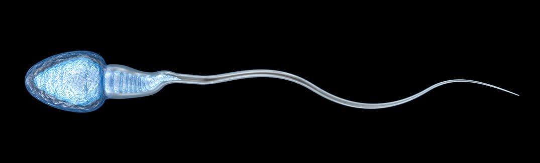 sperm nedir